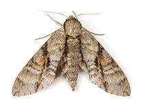 Ash Sphinx Moth Royalty Free Stock Photography