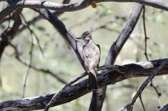 Ash Throated птица мухоловки, колоссальный парк горы пещеры, Аризона стоковое изображение
