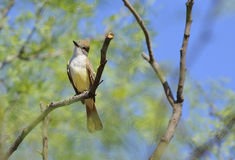Ash-Throated Flycatcher. Front view, showing pale yellow belly, of ash-throated flycatcher perched on branch of tree, Clairemont, Texas, United States royalty free stock photography