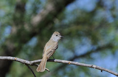Ash-Throated Flycatcher. Rear view of ash-throated flycatcher perched on branch of tree, Clairemont, Texas, United States stock photography