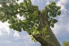 Ash tree. With branches trimmed Royalty Free Stock Photos