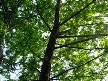 Ash Tree Royalty-vrije Stock Foto's