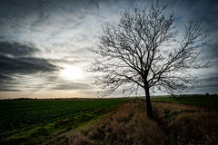 Ash tree in arable field. Semi mature ash tree in an arable location against a dramatic sky Royalty Free Stock Images