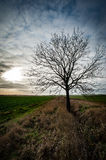 Ash tree in arable field Stock Images