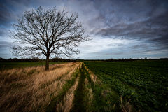 Ash tree in arable landscape. Semi mature ash tree standing alone in an arable landscape with dramatic sky Stock Photography