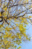 Ash tree. In late autumn, the leaves still luxuriant royalty free stock images