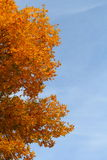 Ash tree at autumn Royalty Free Stock Photos
