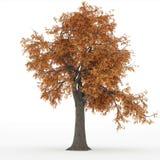 Ash tree autumn Royalty Free Stock Photo