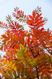 Ash tree autumn leaves colours Stock Image
