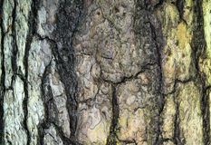 Ash tree bark background texture. Ash tree bark closeup background cracked texture Royalty Free Stock Photo
