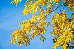 Ash Tree Branch d'or images libres de droits