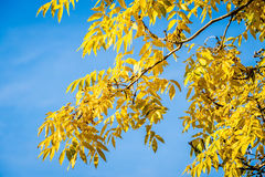 Ash Tree Branch de oro imágenes de archivo libres de regalías
