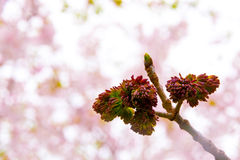 Ash tree buds at spring Royalty Free Stock Photos