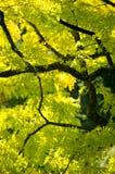 Ash Tree. Butchart Gardens, British Columbia, Canada. Stock Photos
