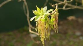 Ash Tree che soffia nel vento in primavera video d archivio