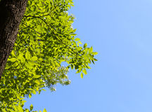 Ash tree crown and blue sky Royalty Free Stock Images