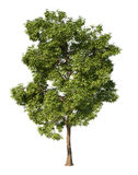 Ash tree Stock Photos