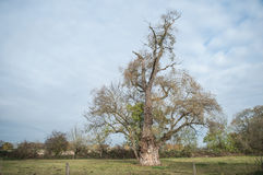 Ash tree in a field Stock Image