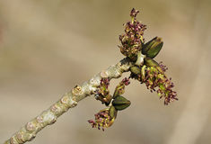 Ash Tree Flowers Stock Photography