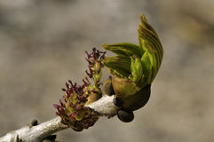 Ash Tree Flowers. & fresh leaves - Fraxinus excelsior royalty free stock photo