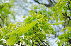 Ash Tree flowers Royalty Free Stock Photo