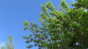 Ash tree flowers and fruits. Branches of fraxinus exelsior tree in the wind on blue sky background. Video HD Shooting of. Ash tree flowers and fruits. Branches stock footage