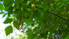 Ash Tree Flowers and fruits. Branches of fraxinus exelsior tree in the wind. Video HD Shooting of static camera. Ash Tree Flowers and fruits. Branches of stock footage