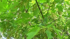 Ash Tree Flowers and fruits. Branches of fraxinus exelsior tree in the wind. Video HD Shooting of static camera. Ash Tree Flowers and fruits. Branches of stock video