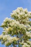 Ash tree flowers Royalty Free Stock Photo