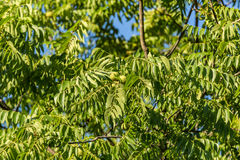 Ash tree with fruits. Beautiful green ash tree with fruits. Blue sky in the background stock photos