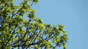 Ash tree stock video footage