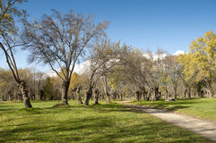 Ash tree grove Stock Image