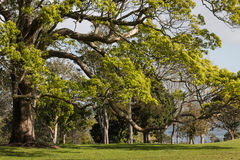 Ash tree growing in park. Large ash tree growing in park Royalty Free Stock Photos