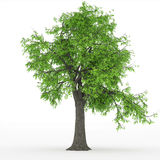 Ash tree Stock Image