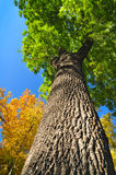 Giant ash tree Royalty Free Stock Photography