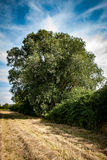 Ash tree. Large, hedgerow ash tree Fraxinus excelsior against a late summer sky royalty free stock image