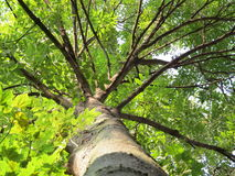 Ash-tree. A large trunk of ash tree royalty free stock images