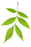 Ash tree leaf. Isolated on the white stock photography