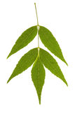 Ash tree leaf on isolated. Ash tree leaf isolated on the white stock image