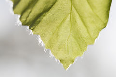 Ash tree leaf tip Stock Photo