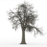 Ash tree leafless Royalty Free Stock Photos
