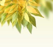 Ash-tree leaves Royalty Free Stock Photos