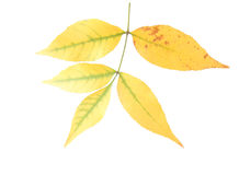 Ash-tree leaves Royalty Free Stock Images