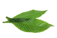 Ash Tree Leaves. On White Background stock photography