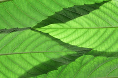 Ash Tree Leaves Stock Image