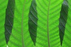 Ash Tree Leaves Fotografía de archivo libre de regalías