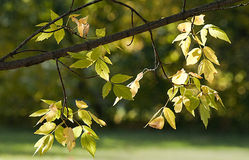 Ash tree leaves in Autumn Royalty Free Stock Photo