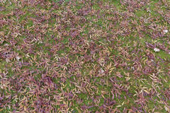 Ash tree leaves on green grass autumn. The leaves are falling displaying the beautiful colors royalty free stock photos
