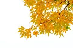 Ash Tree Leaves jaune Photos stock
