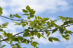 Ash tree leaves in Spring clouds for background Royalty Free Stock Photos